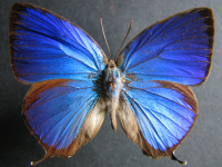 Adult Male Upper of Shining Oak-blue - Arhopala micale amytis