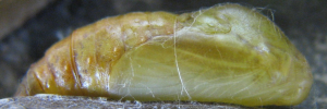 Pupae Side of Shining Oak-blue - Arhopala micale amytis