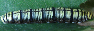 Final Larvae Side of Narrow-winged Awl - Badamia exclamationis