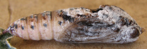 Pupae Side of Narrow-winged Awl - Badamia exclamationis