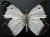 Adult Male Upper of Caper White - Belenois java teutonia
