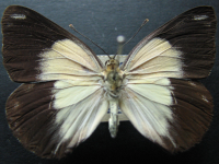 Adult Female Upper of Caper White - Belenois java teutonia