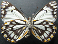 Adult Male Under of Caper White - Belenois java teutonia