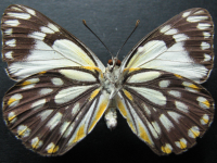 Adult Female Under of Caper White - Belenois java teutonia