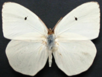 Adult Female Upper of White Migrant - Catopsilia pyranthe crokera