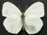Adult Male Upper of White Migrant - Catopsilia pyranthe crokera
