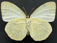 Adult Male Under of White Migrant - Catopsilia pyranthe crokera