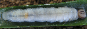 Final Larvae Top of Orange Palm-dart - Cephrenes augiades sperthias