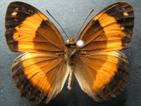 Adult Male Upper of Bordered Rustic - Cupha prosope prosope