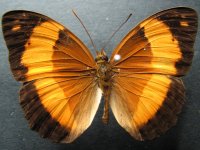 Adult Female Upper of Bordered Rustic - Cupha prosope prosope