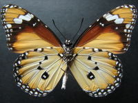 Adult Male Under of Lesser Wanderer - Danaus chrysippus petilia
