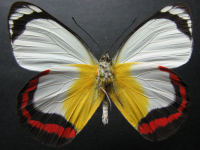 Adult Male Under of Red-banded Jezebel - Delias mysis mysis