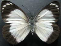 Adult Female Upper of Red-banded Jezebel - Delias mysis mysis