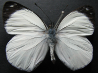 Adult Male Upper of Black Jezebel - Delias nigrina