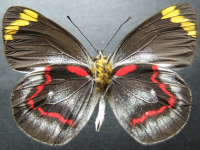 Adult Male Under of Black Jezebel - Delias nigrina
