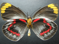 Adult Female Under of Black Jezebel - Delias nigrina