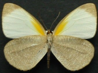 Adult Male Under of Striated Pearl-white - Elodina parthia