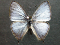 Adult Male Upper of Hairy Line-blue - Erysichton lineata lineata
