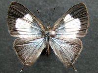 Adult Female Upper of Hairy Line-blue - Erysichton lineata lineata