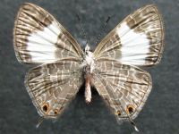 Adult Female Under of Hairy Line-blue - Erysichton lineata lineata
