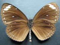 Adult Male Under of Purple Crow - Euploea tulliolus tulliolus