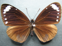 Adult Female Upper of Purple Crow - Euploea tulliolus tulliolus