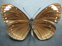 Adult Female Under of Purple Crow - Euploea tulliolus tulliolus