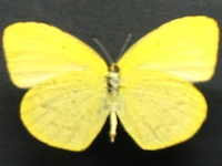 Adult Male Under of No-brand Grass-yellow - Eurema brigitta australis