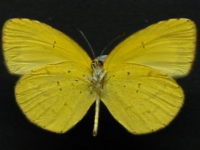 Adult Female Under of No-brand Grass-yellow - Eurema brigitta australis