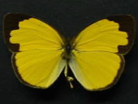 Adult Male Upper of Large Grass-yellow - Eurema hecabe hecabe