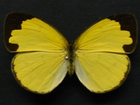 Adult Female Upper of Large Grass-yellow - Eurema hecabe hecabe