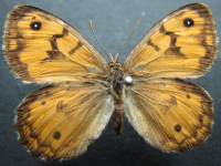 Adult Female Upper of Western Xenica - Geitoneura minyas