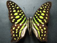 Adult Male Upper of Green Spotted Triangle - Graphium agamemnon ligatus