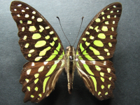 Adult Female Upper of Green Spotted Triangle - Graphium agamemnon ligatus