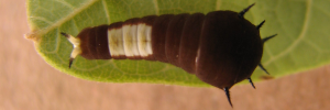 Early Larvae Top of Green Spotted Triangle - Graphium agamemnon ligatus
