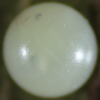 Egg of Green Spotted Triangle - Graphium agamemnon ligatus