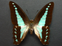 Adult Male Upper of Blue Triangle - Graphium choredon