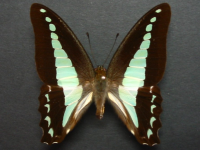 Adult Female Upper of Blue Triangle - Graphium choredon