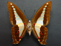 Adult Female Under of Blue Triangle - Graphium choredon