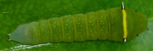 Final Larvae Top of Blue Triangle - Graphium choredon