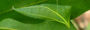 Pupae Side of Blue Triangle - Graphium choredon