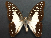 Adult Male Upper of Pale Triangle - Graphium eurypylus lycaon