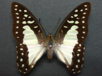 Adult Female Upper of Pale Triangle - Graphium eurypylus lycaon
