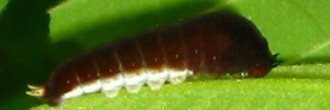 Early Larvae Side of Pale Triangle - Graphium eurypylus lycaon