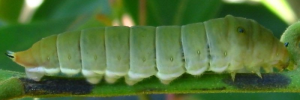 Final Larvae Side of Pale Triangle - Graphium eurypylus lycaon
