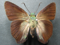 Adult Male Upper of Green Awl - Hasora discolor mastusia