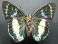 Adult Female Under of Green Awl - Hasora discolor mastusia
