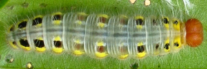 Final Larvae Top of Green Awl - Hasora discolor mastusia