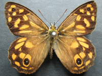 Adult Male Upper of Spotted Brown - Heteronympha paradelpha