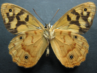 Adult Male Under of Spotted Brown - Heteronympha paradelpha